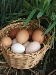 Fresh eggs - worth waiting for