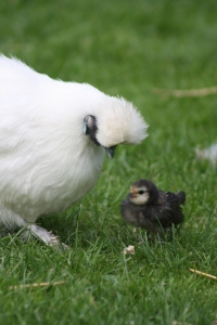 Photo 16_White silkie and chick