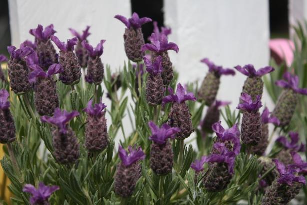 lavender at www.fionadillon.com
