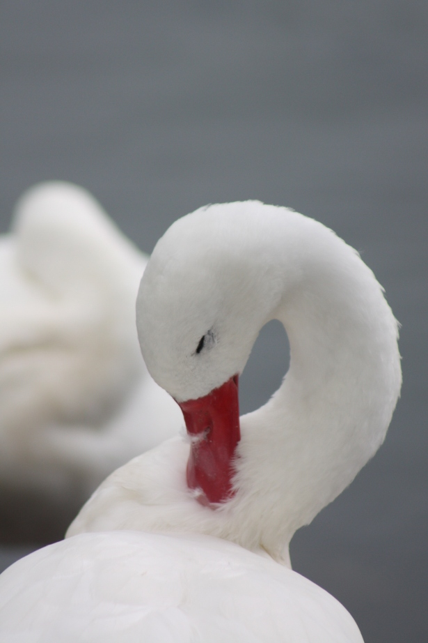 white swan, www.fionadillon.com