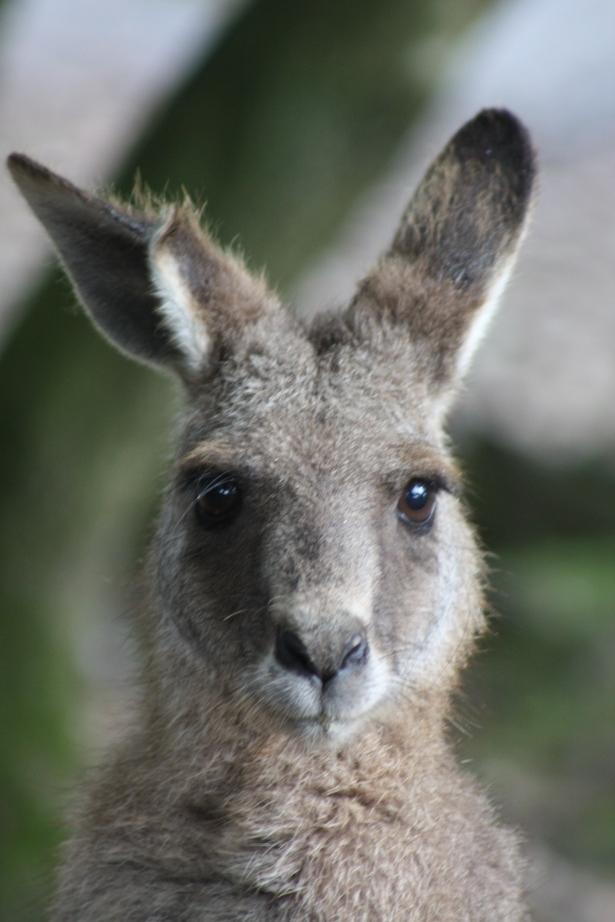 kangaroo, www.fionadillon.com