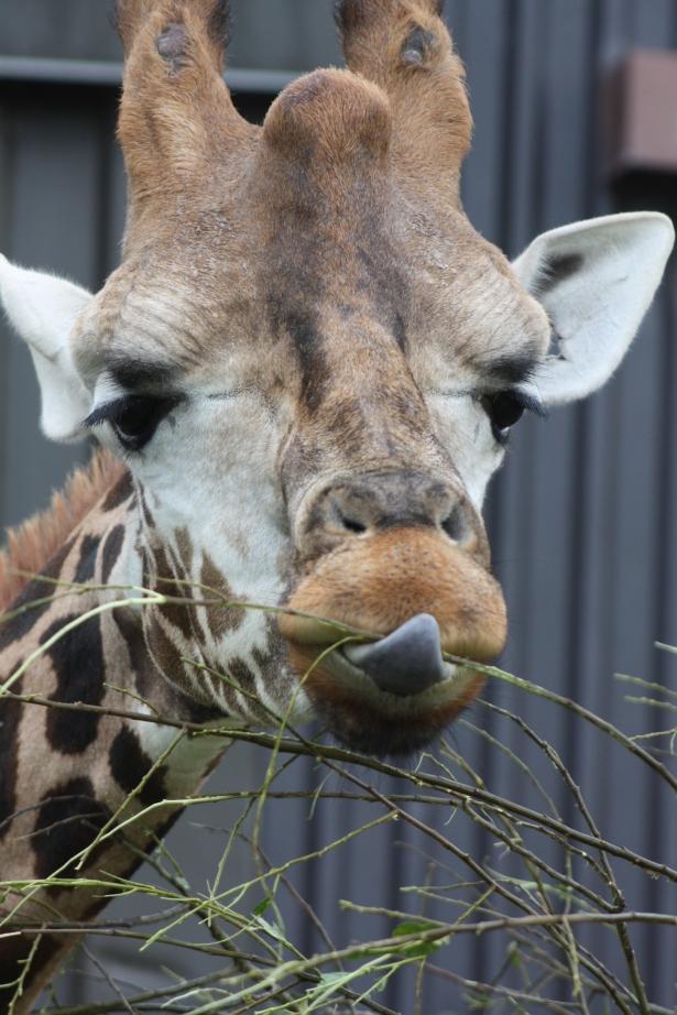 giraffe, www.fionadillon.com