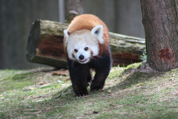 red panda, www.fionadillon.com